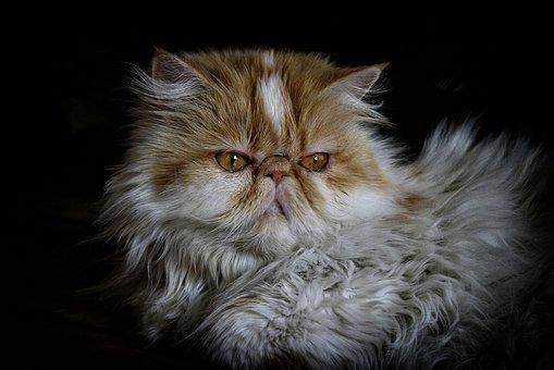 Cat, Persian, Persian Cat, Pet, Animal