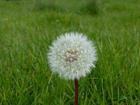 Dandelion, Single, Meadow, Grass, Fluffy, Delicate