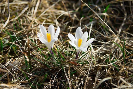 Crocus, White, Frühlingsanfang, Spring, Blossom, Bloom
