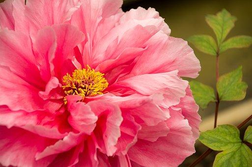 Spring Equinox, Flowers And Plants, Peony