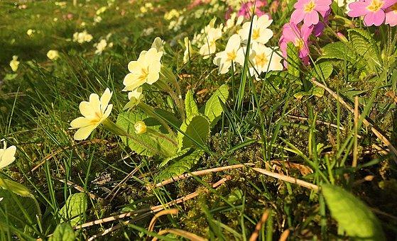 Flower, Meadow, Nature, Spring, Primrose, Flower Meadow