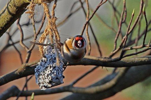 Stieglitz, Bird, Songbird, Spring, Nature, Siskin