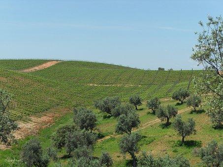 Vineyard, Wine, Oil, Olive Tree, Alentejo, Nature