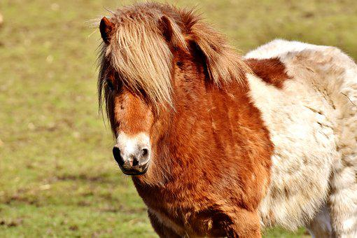 Pony, Brown, White, Horse, Animal, Mane, Horse Head