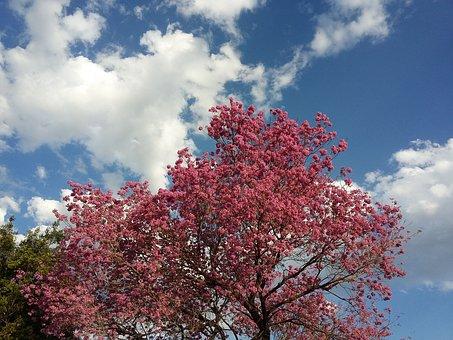 Lapacho, Argentina, Reconquista, Tree, Flower, Rosa