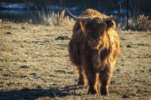 Pasture, Cow, Urvieh, Beef, Cows, Graze, Nature, Horns