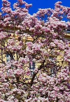 Magnolia, Magnolia Tree, Spring, Pink, Plant, Blossom