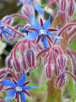 Borago Officinalis, Borage, Wild Flower, Purple Flower