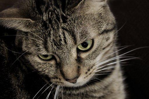 Cat, European Cat Gray, Melancholy, Poetry, Whimsical