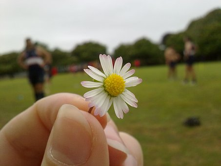 Flower, Daisy, Yellow Center, Chamomile, Flowers