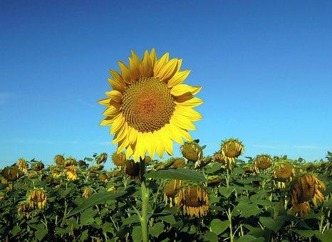 Sunflower, Field, Nature, Yellow, Plant, Closeup, Sky