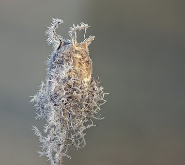 Boll, Cold, Frost, Winter, Hoarfrost, Frozen, Nature