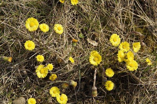 Tussilago Farfara, Spring, Cough, Medicinal Plant