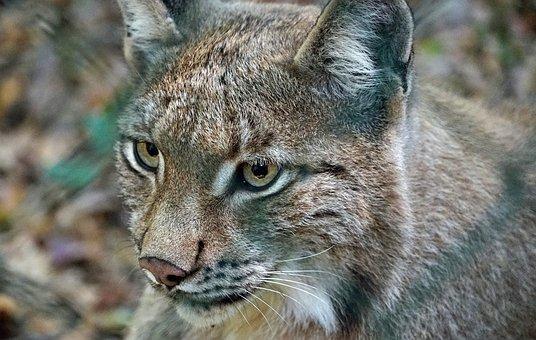 Lynx, Watch, Cat, Animals, Wildcat, Dangerous