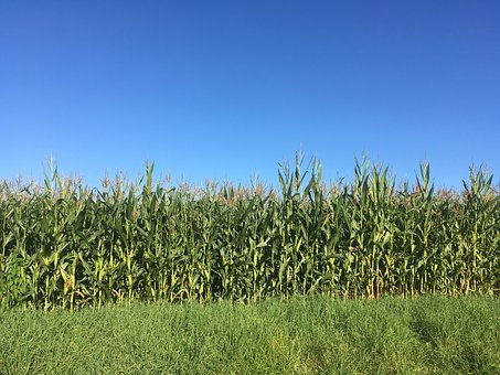 Corn, Field, Blue, Heaven, Agriculture, Background