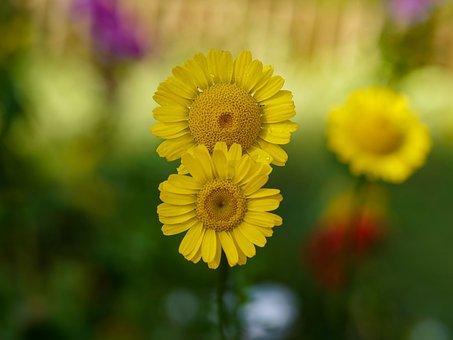 Flowers, Yellow Flowers, Anthemis, Yellow, Petals