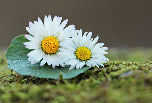 Daisy, Wildflowers, Green, Spring, Flowers, Nature