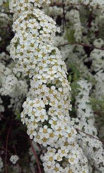 Spring, Flowers, Bloom, Spiraea, Spiraea-witted