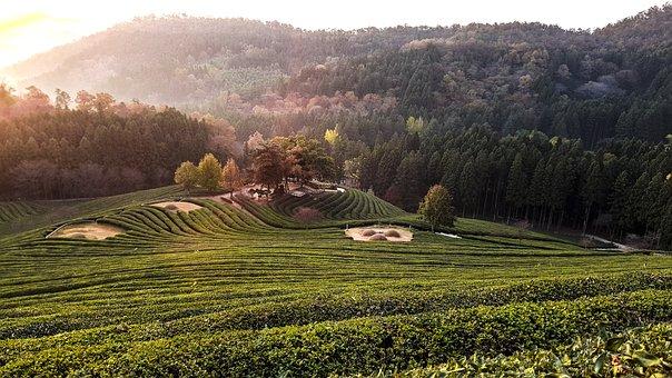 For Green Tea, Scenery, Morning