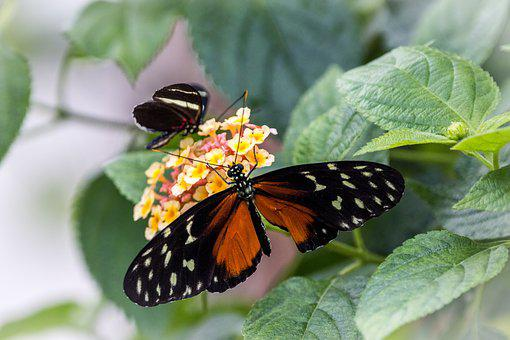 Heliconius Hecale, Golden Hecale, Butterfly