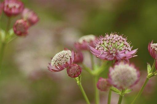 Astrantia Major, Great Masterwort, Flower, Masterwort
