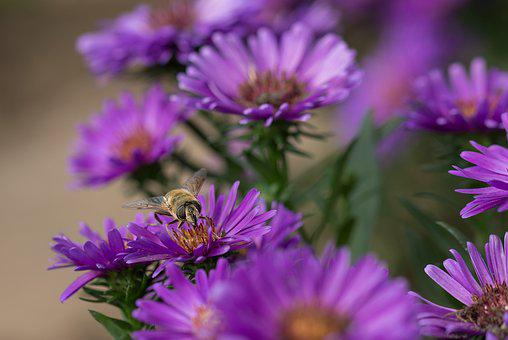 Herbstaster, Flowers, Garden, Blossom, Bloom, Aster