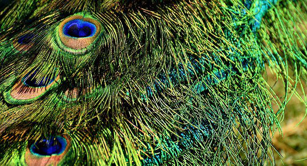 Peacock Feathers, Colorful, Iridescent, Bird, Plumage