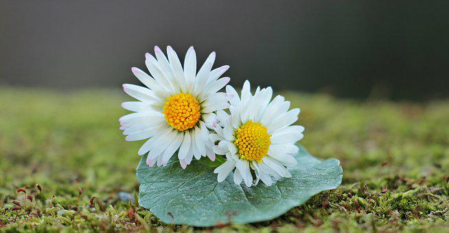 Daisy, Wild Flowers, Flowers, Leaf, Moss, Nature