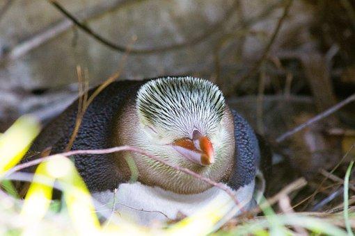 Guløjet Penguin, Guløjepingvin, Megadyptes Antipodes