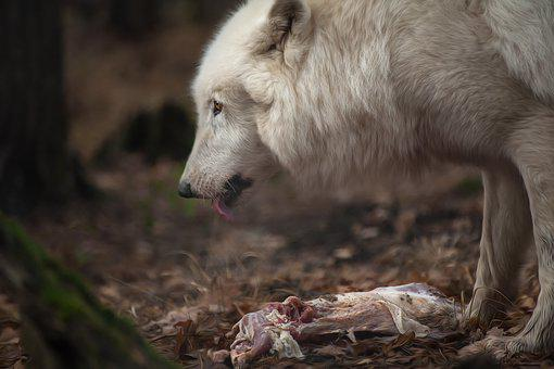 Wolf, Animal, Nature, White, Fur, Public Record