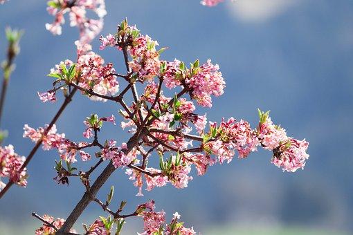 Kolkwitzia, Flowers, Pink, Spring, Bush, Nature