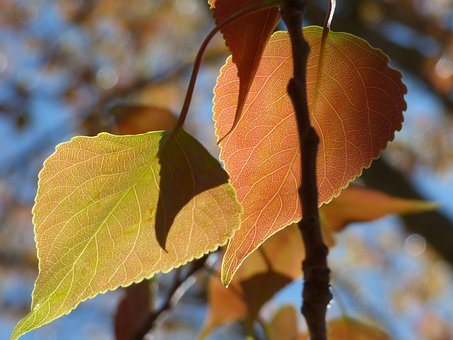 Poplar, Leaf, Outbreak, Sheet Tender, Translucent