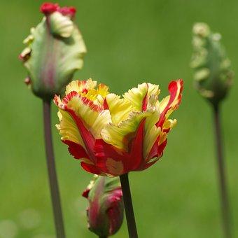 Tulip, Flowers, Parrot Tulip, Tulip Spring, Red, Yellow