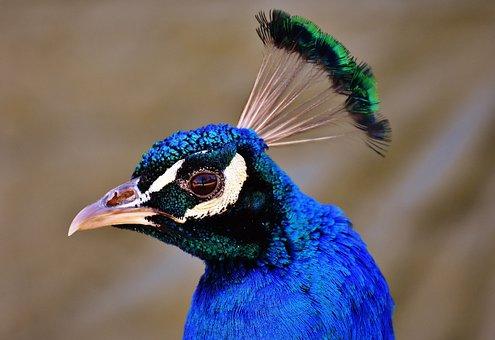 Peacock, Pride, Bird, Animal, Feather, Nature, Plumage