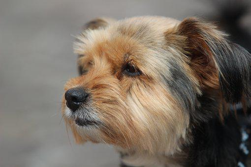 Yorkshire Terrier, Dog, Portrait, Pet, Dog Face, Shorn