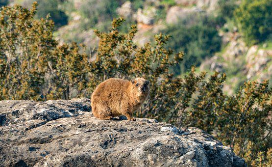 Rock Hyrax, Animal, Nature, Rock, Procavia Capensis