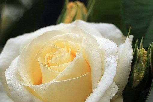 Rose, Yellow Rose, Rose Flower, Rose Petals, Rose Tea