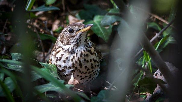 Song Thrush, Thrush, Bird, Sitting, Nature, Singer
