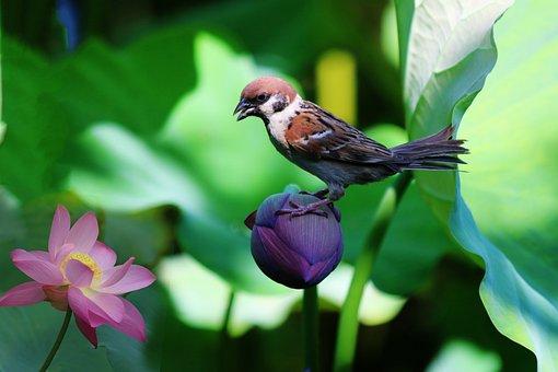 Sparrow, Lotus, Solitary Birds Flowers