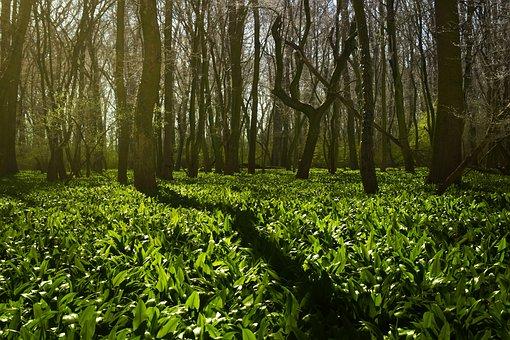 Grove, Wild Garlic, Green, Spring, Nature, Trees