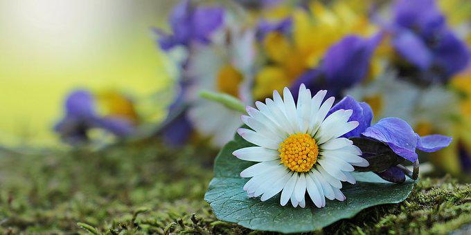 Wildflowers, Wild Flowers, Daisy, White, Yellow, Purple