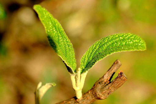 Leaf, Young, Young Leaves, Spring, Boy Shoots, Hairy