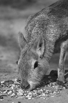 Mara, Animal, Mammal, Pampa Haas, Patagonian Hare, Food