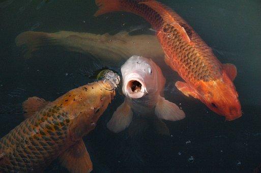 Koi, Fish, Koi Carp, Water, Appear, Mess