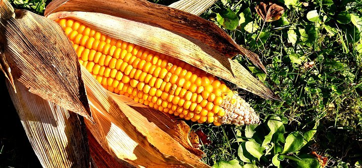 Corn On The Cob, Corn, Vegetables, Food, Autumn, Nature