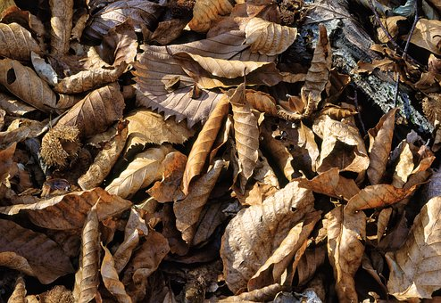Fallen Leaves, Beech Forest