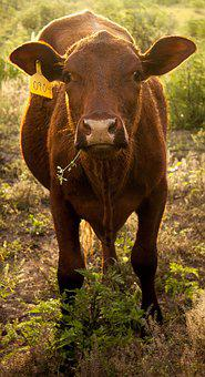 Cow, Tag, Tagged, Farm, Cattle, Agriculture, Beef