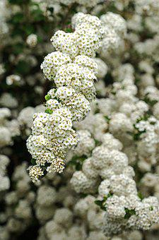 Hawthorn, Blossom, Bloom, White, Bush, May