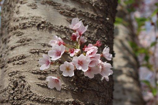 Cherry Blossom, Macro, Port Arthur