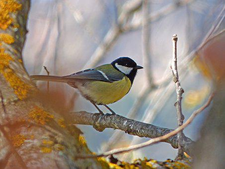 Tit, Parus Major, Coal Mallarenga, Bird, Wild Birds